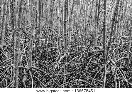 Root for mangrove forest is plentiful background at Rayong mangrove forest Thailand. Abstract black and white