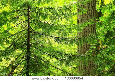 a picture of an exterior Pacific Northwest forest of young and mature Douglas fir trees Douglas fir trees