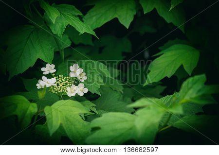 Viburnum - genus of woody flowering plants adoxaceae family