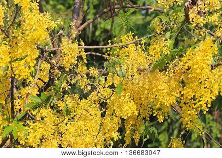 Cassia fistula or Golden shower bloom on tree in the gardenIn Thailand are named is Ratchaphruek.