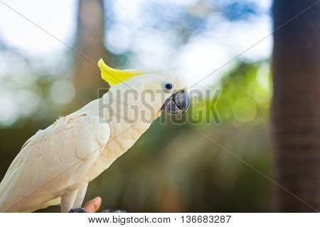 Beautiful white Cockatoo is sitting on the hand