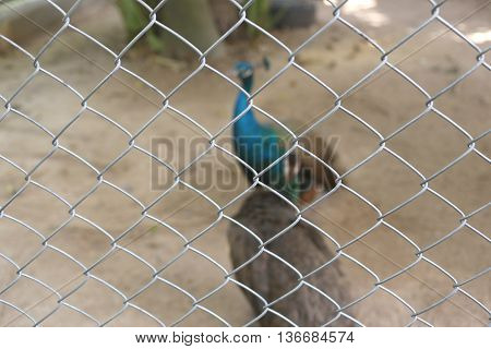 Peacock of conserve bird are trapped inside a cage concept of capturing wild animals.