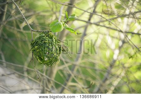 Building green grass new nest on the tree. Weaver bird. Ending of winter - beginning of spring in South Africa. Wild nature.