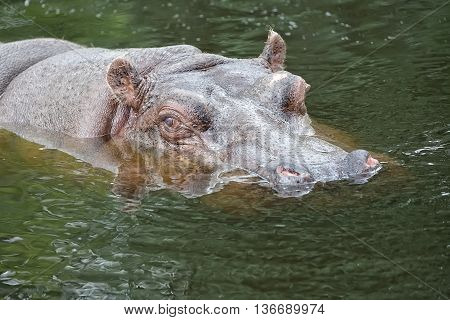 Hippopotamus in the water in the wild