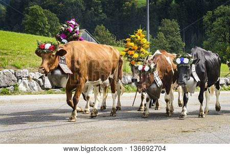 Farmers with a herd of cows on the annual transhumance at Charmey near Gruyeres Fribourg zone on the Swiss alps