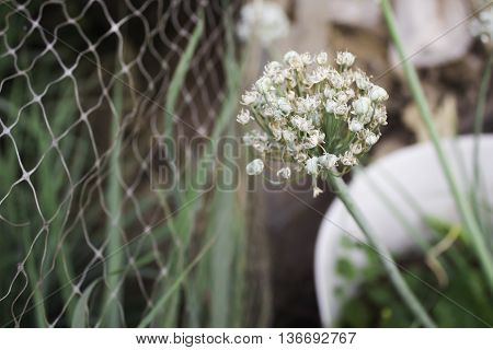Blooming head of spring onion flower, blooming, garden, nature