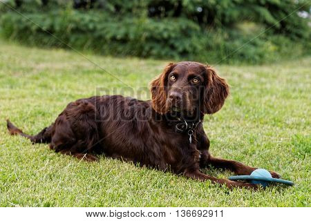 Dog Lying On The Green Grass