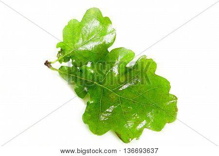 solstice midsummer oak leaves on white backgound