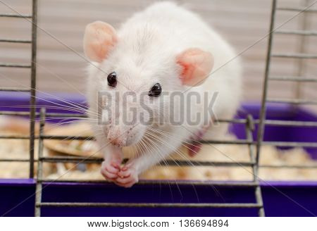 Funny white rat looking out of a cage and sitting on the cage door (selective focus on the rat nose and eyes)
