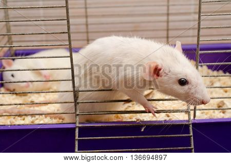 Curious white rat looking out of a cage selective focus on the rat head (with another white rat sleeping in the cage)