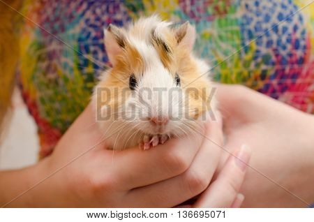 Cute newborn (one-day-old) guinea pig baby in child hands selective focus on the guinea pig nose