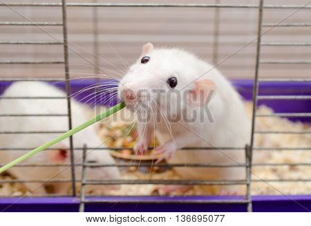 Funny white rat taking and eating a blade of green grass with a funny expression (selective focus on the rat head)