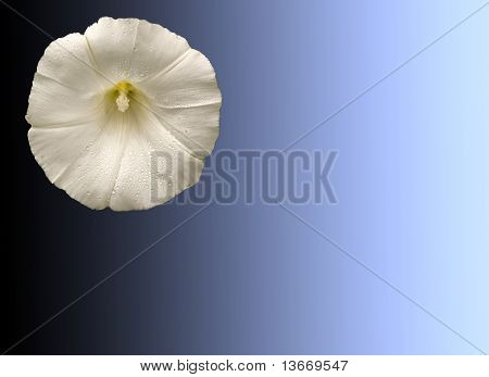 White Convovulus, Isolated