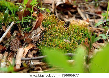 moral mushroom moss woods leaves spring fungus