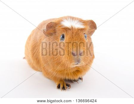 Funny-looking American crested guinea pig (isolated on white)
