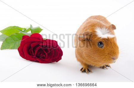 Cute guinea pig and a red rose (on a white background)