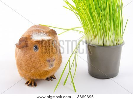Funny guinea pig and green grass (on a white background)