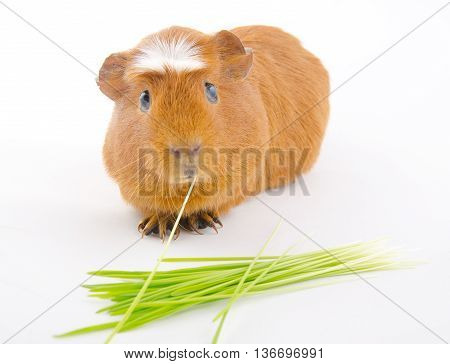 Funny American crested guinea pig eating a blade of grass and green grass (on a white background) selective focus on the guinea pig eyes