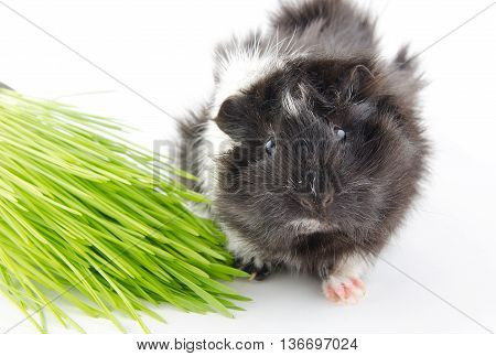 Cute little Abyssinian guinea pig and green grass (on a white background) selective focus on the eyes