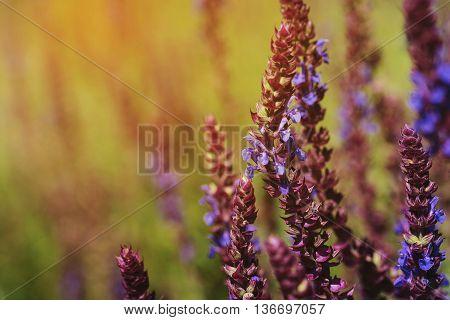 Fresh purple flowers of salvia on meadow