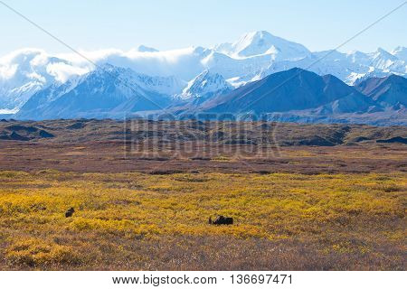 Moose At Denali National Park With Mountain Background