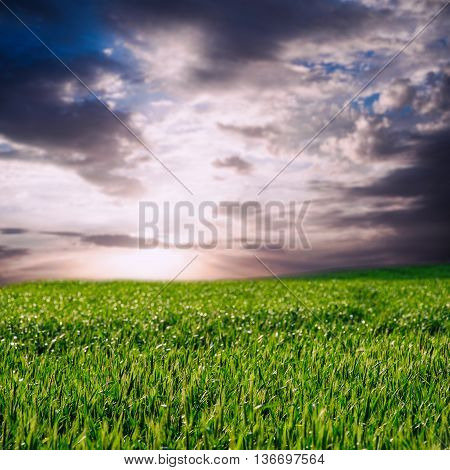 image of beatiful summer or spring wheat field and sky with clouds