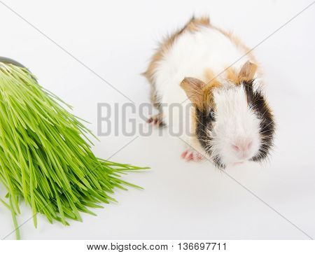 Cute little guinea pig and green grass (on a white background)