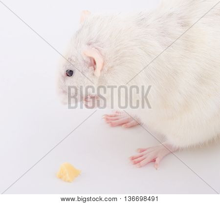 Funny white rat sitting with its front paws folded next to a small piece of cheese (selective focus on the rat muzzle)