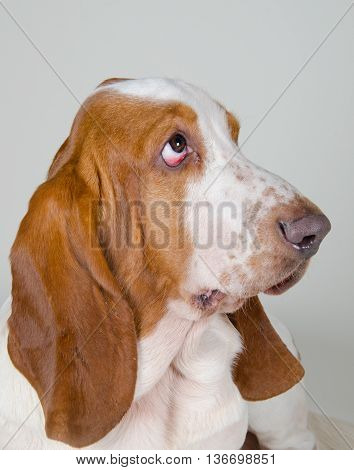 Sad Basset Hound looking up retro style (selective focus on the eyes)