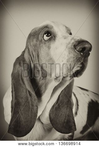 Sad Basset Hound looking up (selective focus on the eyes) in sepia vintage style