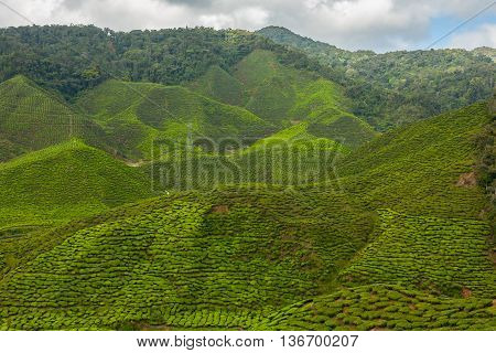 Green tea plantation in the mountains Cameron Highlands