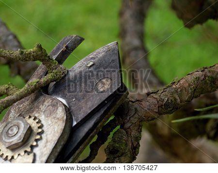 Gardener Pincers Trimming Bonsai Tree. Cleaning Treetop