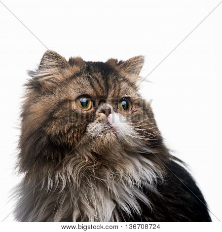 The Persian cat dark isolated on a white background