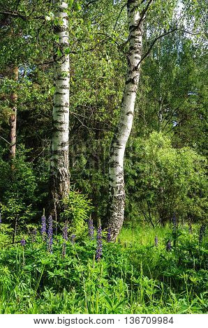 Two birches and lupines in the forest summer time