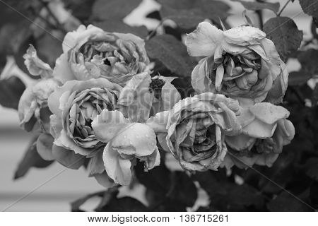 beautiful in summer bloom bush of french rose in black and white style