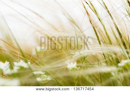 Stipa or Feather Grass with White Flowers in Fine Windy Weather. Blurred Picture.