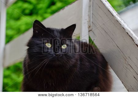 Portrait of thick long hair black Chantilly Tiffany cat relaxing in the garden. Close up of fat tomcat with stunning big green eyes sitting at home. Tom cat lying in garden