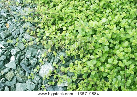 Plant ivy green leaves and ground stone.