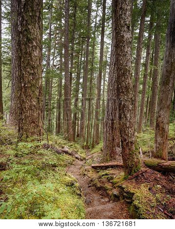 A trail weaves downward through towering trees on the High Divide/Seven Lakes Trail in Olympic National Park, near Port Angeles, Washington.