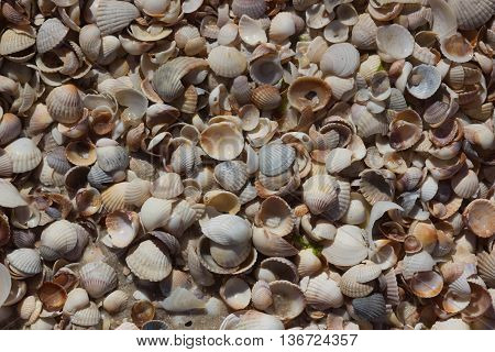 Sea Shells Seashells - variety of sea shells from beach with large scallop shell.
