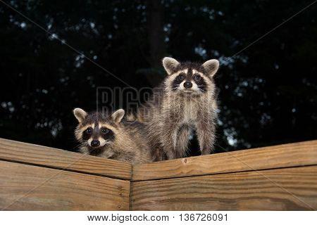Tw Baby Raccoon
