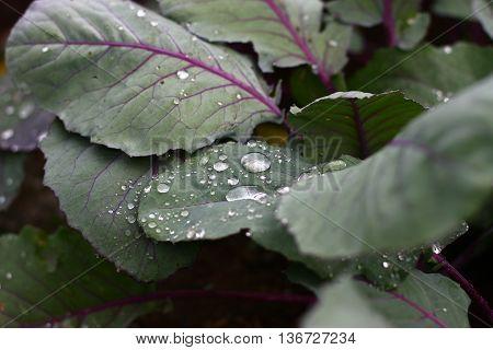 Detail on rain drops on violet kohlrabi leaves home-grown vegetable after rain