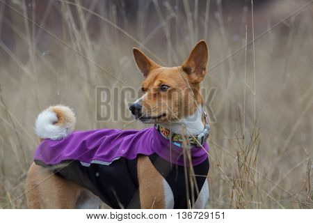 Portrait Of A Basenji Dog In Clothes