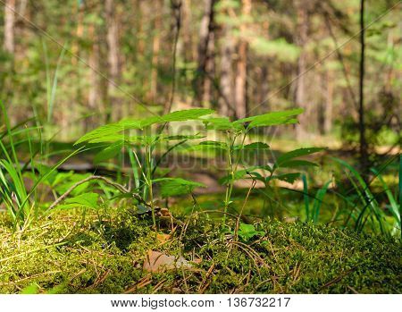 The stems and leaves of young grass to moss in the shade on the forest background