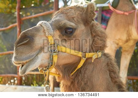 The Facial Expression of a Camel in Cozumel Mexico.