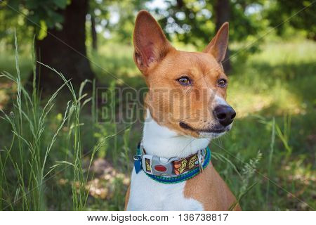 Basenji Dog In The Shade Of Trees