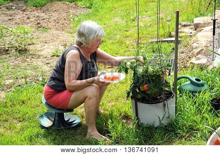 Mature female picking organic tomatoes from her garden.