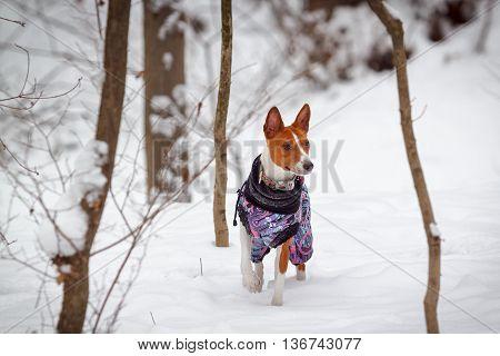 Little Dog Basenji Walks In A Snowy Forest. Winter