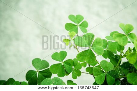 Close Up Clovers Leaves For Background .the Symbolic Of Clover The First Is For Faith, The Second Is