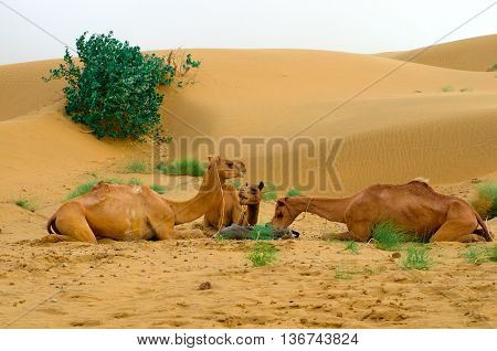 feeding camels during a desert safari pause